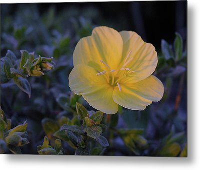 Metal Print featuring the photograph Yellow Beach Evening Primrose by Marie Hicks