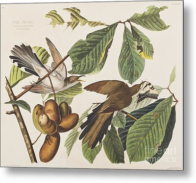 Yellow Billed Cuckoo Metal Print by John James Audubon