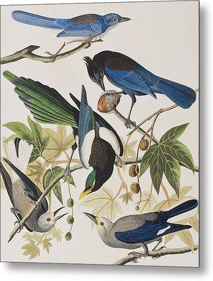 Yellow-billed Magpie Stellers Jay Ultramarine Jay Clark's Crow Metal Print by John James Audubon