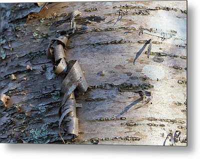Metal Print featuring the photograph Yellow Birch Details by Andrew Pacheco