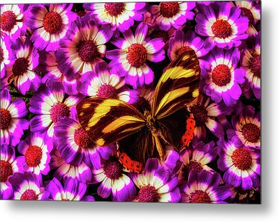 Yellow Black Butterfly On Pericallis Metal Print by Garry Gay