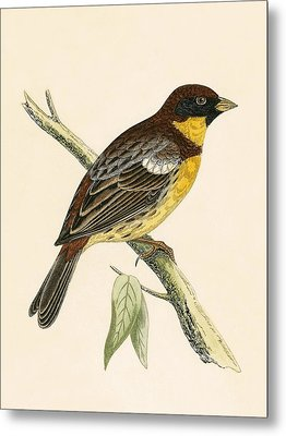 Yellow Breasted Bunting Metal Print by English School