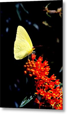 Yellow Butterfly Metal Print