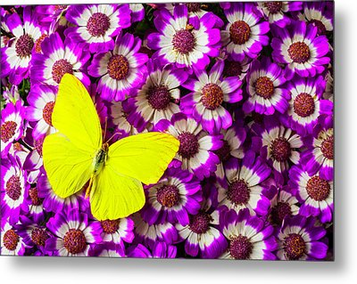 Yellow Butterfly On Pericallis Flowers Metal Print by Garry Gay