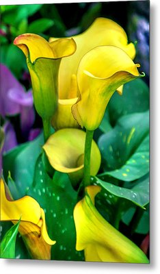Yellow Calla Lilies Metal Print by Az Jackson