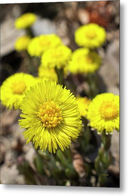 Metal Print featuring the photograph Yellow Coltsfoot Flowers by Christina Rollo