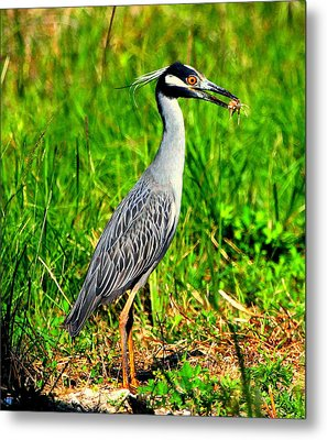 Metal Print featuring the photograph Yellow Crested Night Heron Catches A Fiddler Crab by Barbara Bowen