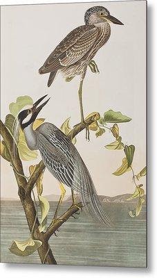 Yellow Crowned Heron Metal Print by John James Audubon