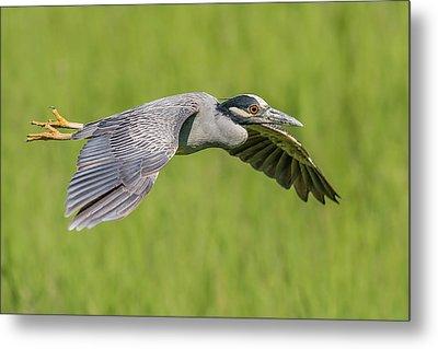 Yellow-crowned Night-heron In Flight Metal Print