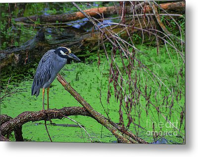 Yellow-crowned Night Heron Metal Print by Photo Captures by Jeffery