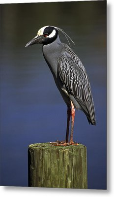 Metal Print featuring the photograph Yellow-crowned Night Heron by Sally Weigand