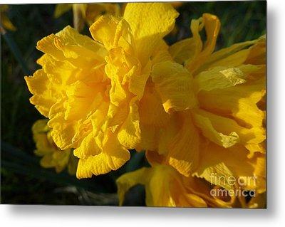 Yellow Daffodils Metal Print by Jean Bernard Roussilhe