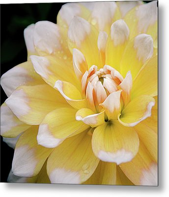 Metal Print featuring the photograph Yellow Dahlia White Tipped by Julie Palencia