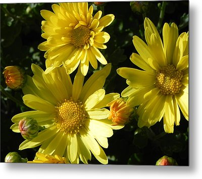 Yellow Daisies Metal Print by John Parry