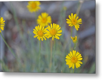 Yellow Daisy Wildflowers Metal Print