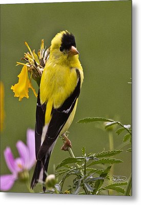 Yellow Finch - Color Impact - Artist Cris Hayes Metal Print by Cris Hayes