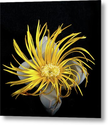 Yellow Follower  Metal Print by Catherine Lau