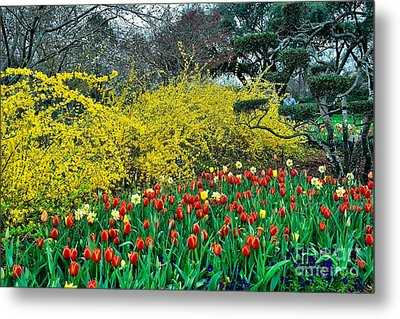 Metal Print featuring the photograph Yellow Forsythia by Diana Mary Sharpton