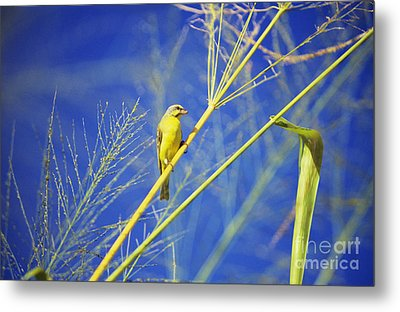 Yellow Fronted Canary Metal Print by Bob Abraham - Printscapes