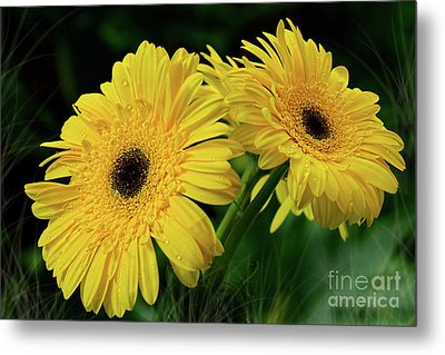 Metal Print featuring the photograph Yellow Gerbera Daisies By Kaye Menner by Kaye Menner