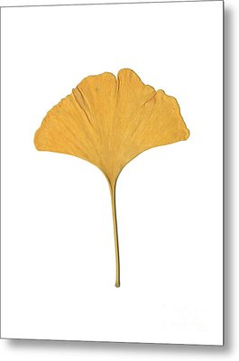 Metal Print featuring the photograph Yellow Ginkgo Leaf by Renee Trenholm