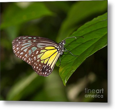 Yellow Glassy Tiger Butterfly Metal Print by Louise Heusinkveld