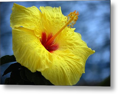 Metal Print featuring the photograph Yellow Hibiscus by Debbie Karnes