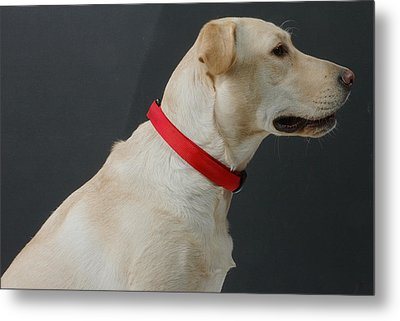 Yellow Lab Metal Print by Jerry McElroy