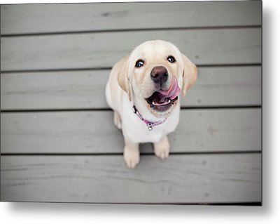 Yellow Lab Puppy Metal Print by Image by Erin Vey