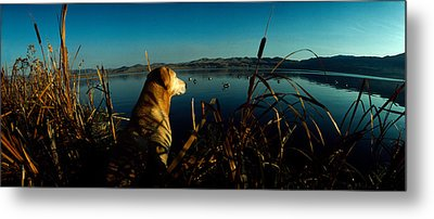 Yellow Labrador Retriever Metal Print by Panoramic Images