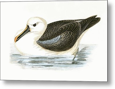 Yellow Nosed Albatross Metal Print by English School