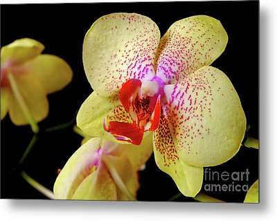 Metal Print featuring the photograph Yellow Phalaenopsis Orchid by Dariusz Gudowicz