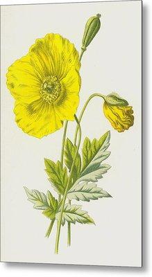 Yellow Poppy Or Mountain Poppy Metal Print by Frederick Edward Hulme