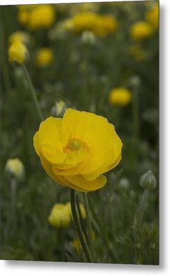 Yellow Ranunculus Flowers Metal Print