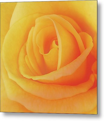 Yellow Rose 4788 Metal Print by Michael Peychich