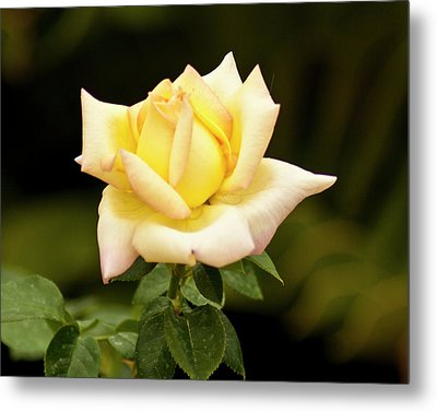 Metal Print featuring the photograph Yellow Rose by Bill Barber