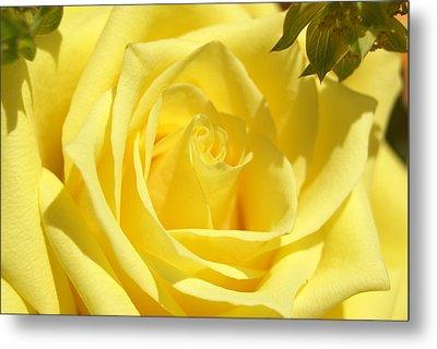 Yellow Rose Metal Print by Heidi Poulin