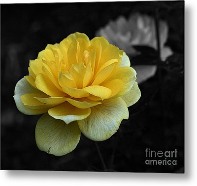 Metal Print featuring the photograph Yellow Rose In Bloom by Smilin Eyes  Treasures