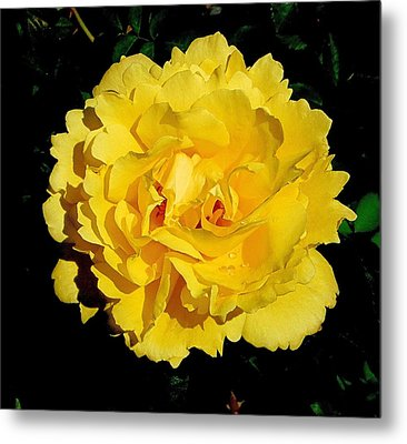 Yellow Rose Kissed By The Rain Metal Print