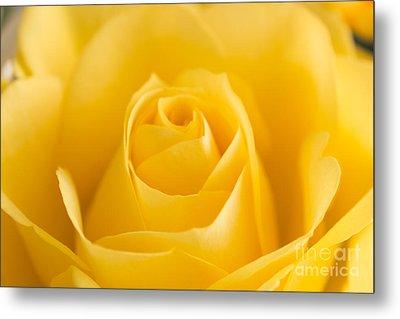 Yellow Rose Macro 2 Metal Print