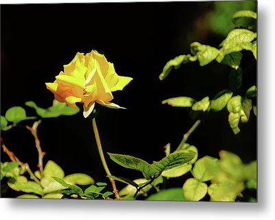 Yellow Rose  Metal Print by Mike Murdock