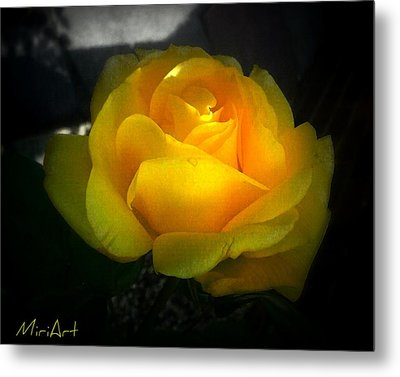 Yellow Rose Metal Print by Miriam Shaw