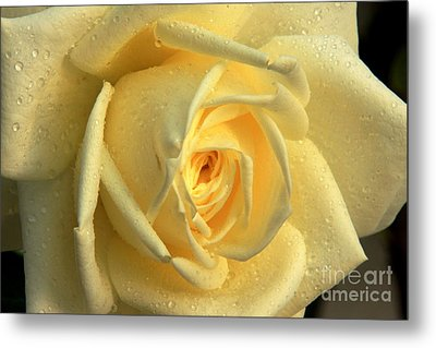 Metal Print featuring the photograph Yellow Rose by Nicola Fiscarelli