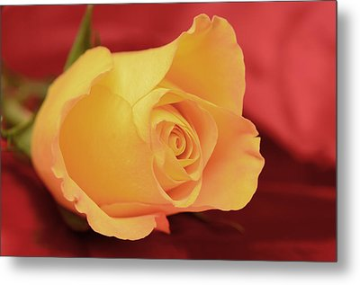 Yellow Rose On Red Metal Print
