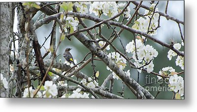 Yellow-rumped Warbler In Pear Tree Metal Print