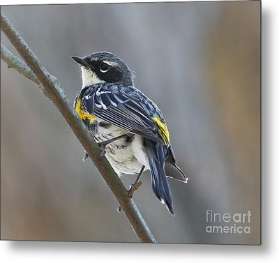 Yellow-rumped Warbler Portrait Metal Print