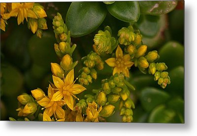 Yellow Sedum Metal Print