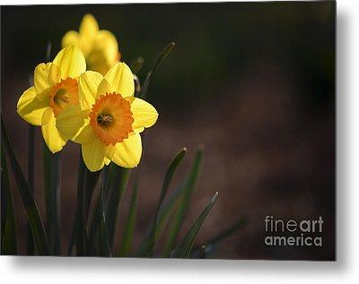Yellow Spring Daffodils Metal Print