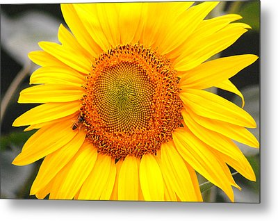 Yellow Sunflower With Bee Metal Print by Amy Fose