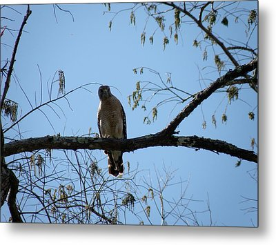 Yellow Tailed Hawk Metal Print by Mary Hurst